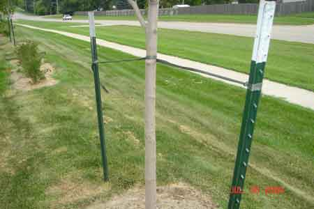 A customer site which demostrates our tree planting techniques to maintain a perfectly upright tree until the tree has had time to firmly root. We also mulch around the trunk to eliminate weeds and retain moisture - click to enlarge