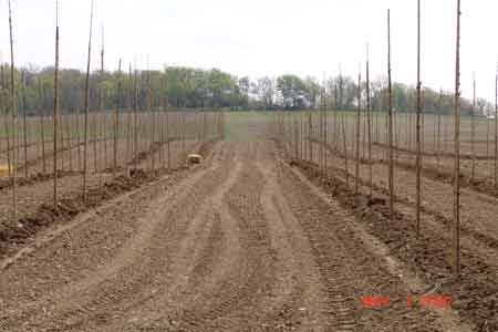 Typical rows of planted trees showing the ground between rows graded, tilled and seeded to provide a cover crop and reduce erosion - click to enlarge