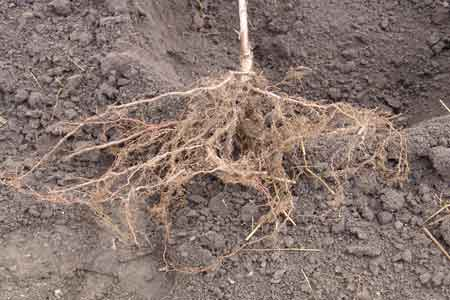 Typical bareroot tree we use showing a fiberous root system - click to enlarge